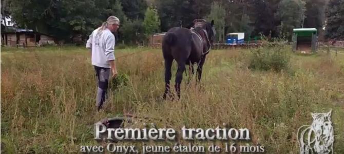 Première «traction» d'un jeune cheval