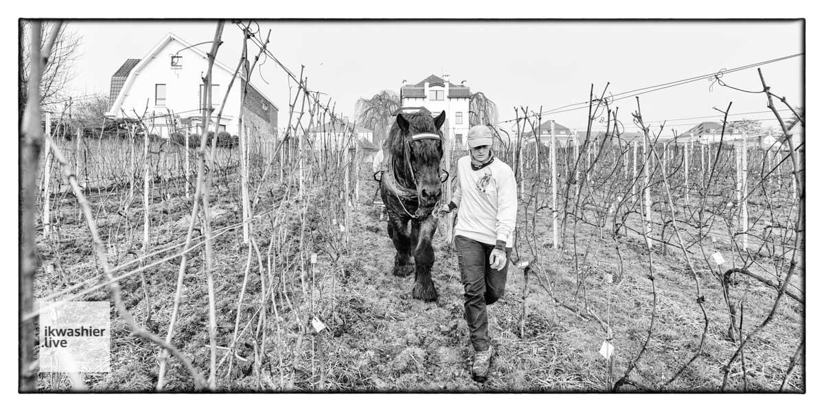 Igor le Trait Belge dans les vignes: vidéo